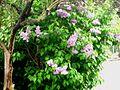 IMG Lilla Oleaceae.jpg
