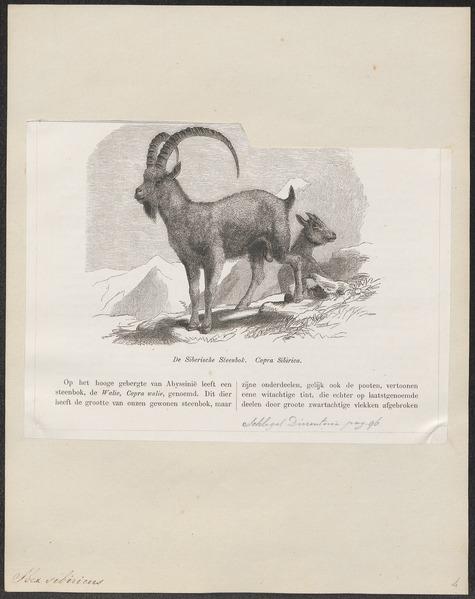 File:Ibex sibiricus - 1700-1880 - Print - Iconographia Zoologica - Special Collections University of Amsterdam - UBA01 IZ21300171.tif