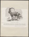 Ibex sibiricus - 1700-1880 - Print - Iconographia Zoologica - Special Collections University of Amsterdam - UBA01 IZ21300171.tif