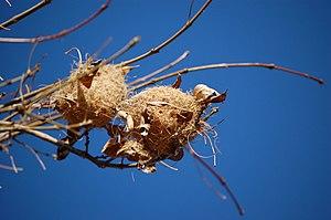 Bullock's oriole - Bullock's oriole nests near San Jose, CA