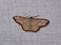 Idaea craspedota (26230520017).jpg