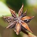 Illicium anisatum (fruits s2).jpg