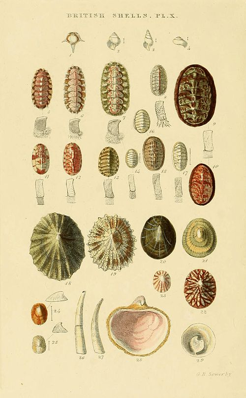 Illustrated Index of British Shells Plate 10.jpg