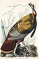 Illustration from Birds of America (1827) by John James Audubon, digitally enhanced by rawpixel-com 1.jpg