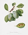 Illustration from Pomona Italiana Giorgio Gallesio by rawpixel00030.jpg