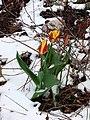 Imatra, Tulip - panoramio.jpg