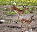 Impala-stotting.jpg