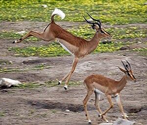 Stotting - Image: Impala stotting