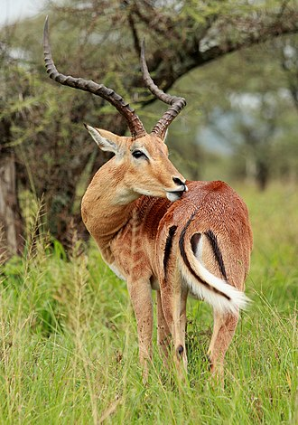 Impala - Close view of a male, with characteristic lyre-shaped horns, white tail and several black markings