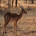 Impala in late afternoon light (36718931955).jpg