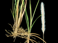 Imperata cylindrica 2308122.png