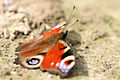 Inachis Io peacock butterfly.JPG