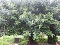 Indian Rubber Tree - ഇന്ത്യൻ റബ്ബർ മരം 04.JPG