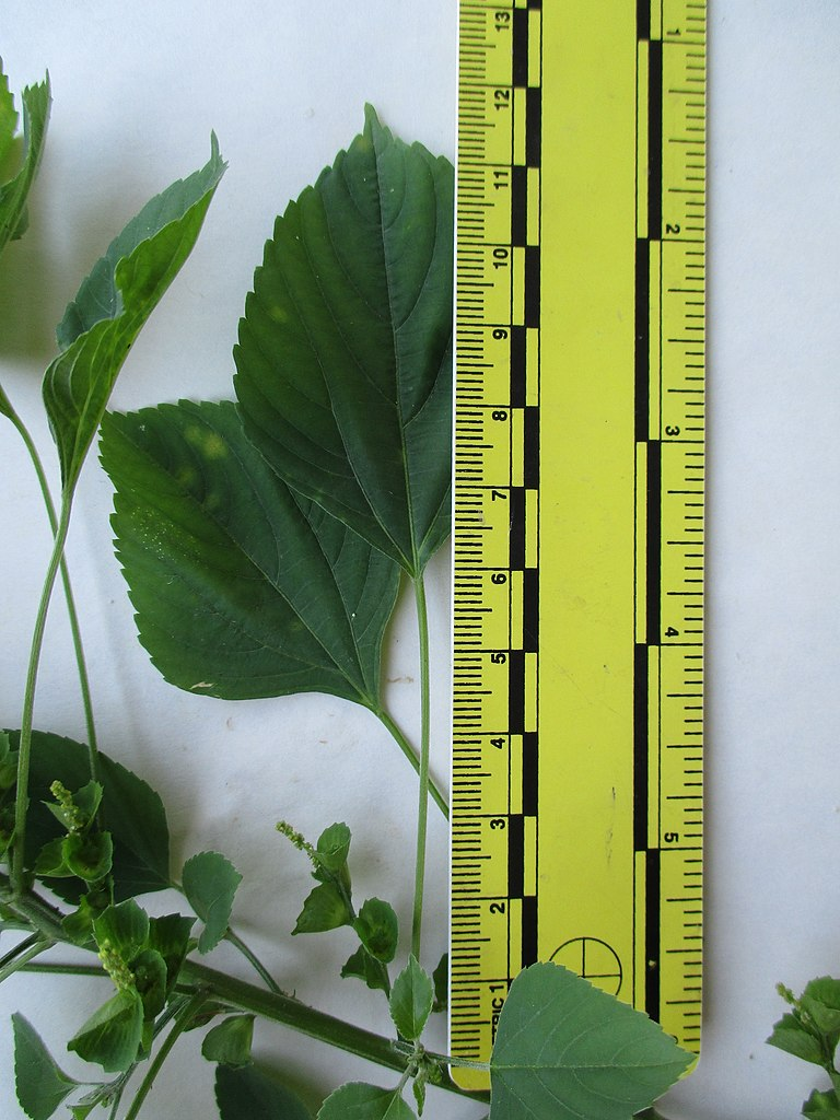 Fileindian Acalypha Acalypha Indica Leaves Ruledjpg Wikimedia