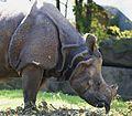 Indisches Panzernashorn Rhinoceros unicornis Tierpark Hellabrunn-3.jpg