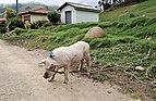Ingapirca roadside pig.jpg