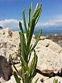 Inula crithmoides sl5.jpg