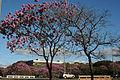 Ipê-roxo em Brasília 05.jpg