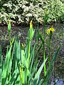 Iris pseudacorus Yellow flag iris in Hatfield Broad Oak Essex England 04.jpg