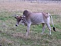 Is this a Bramah Bull, Cleeve Prior - geograph.org.uk - 713248.jpg