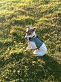 Italian Greyhound.jpg