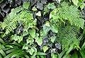 Ivy and fern in Portela - Apr 2013.jpg