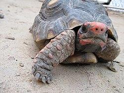 Adoção de tartaruga 250px-Jabuti-piranga_2