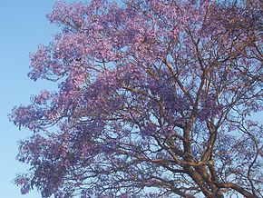 arbre à fleurs bleues ornementales