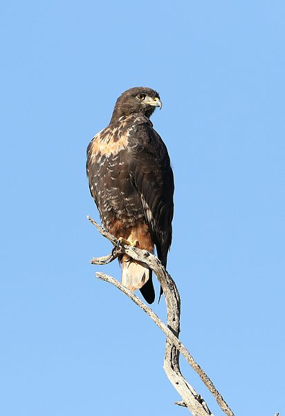 File:Jackal buzzard, Buteo rufofuscus, at Kgalagadi Transfrontier Park, Northern Cape, South Africa (34514220212).jpg