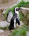 Jackass-Penguin.jpg
