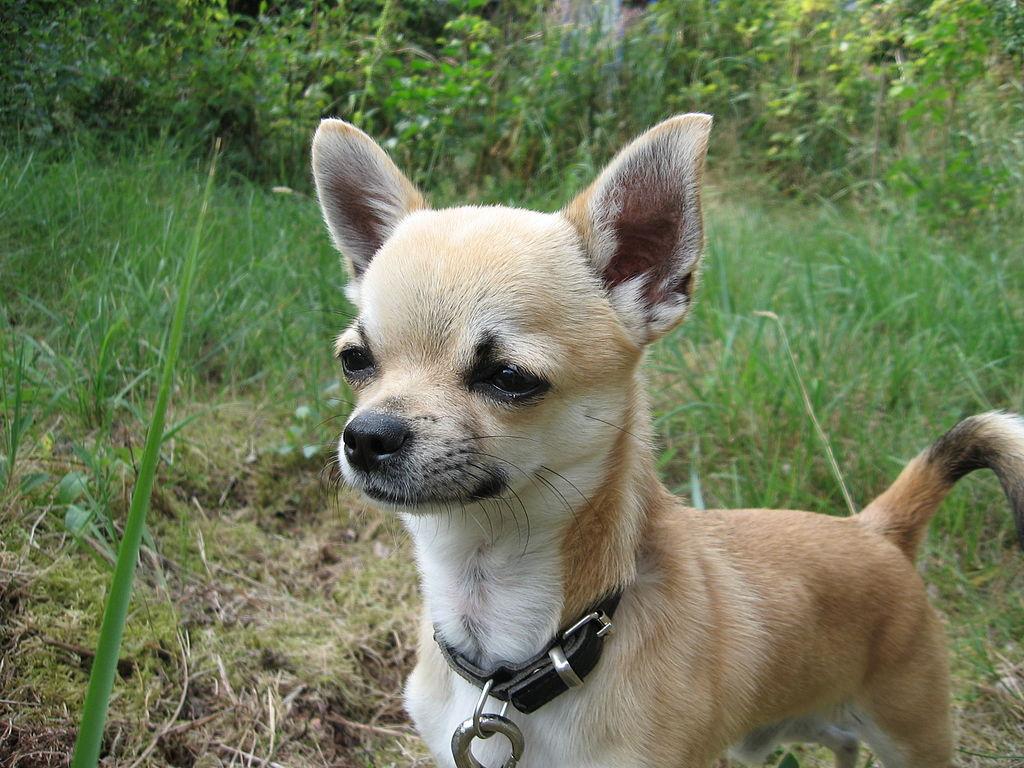 Small Dog Breeder Rockland Maine