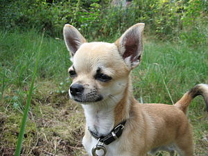 A Chihuahua squinting in the sunlight. Español...