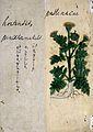 Japanese Herbal, 17th century Wellcome L0030099.jpg