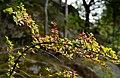 Japanese barberry in Grytan, Immestad 1.jpg