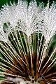 Jeweled Dandelion (5161650419).jpg