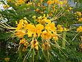 JfYellow flowers in the Philippinesfvf 02.JPG