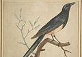 Johann Friedrich Leberecht Reinhold - Vogeldarstellung - Farbradierung.jpg