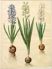 Hyacinthoides orientalis simp et pl