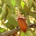 Jojoba Nut - Flickr - treegrow (2).jpg