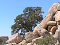 Joshua Tree National Park - panoramio (22).jpg