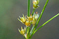 Juncus.tenuis4.-.lindsey.jpg