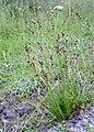 Juncus squarrosus kz01.jpg