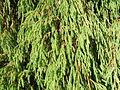 Juniperus recurva.jpg