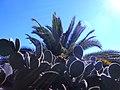 KaktusMadeira.jpg