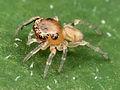 Kaldari Zygoballus sexpunctatus first instar 02.jpg