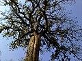 Kanikka Tree @ Parambikulam Tiger Reserve - panoramio (2).jpg