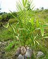 Kelapa sawit baru ditanam (5).JPG