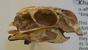 Khaan - Skull of referred specimen IGM 100/973