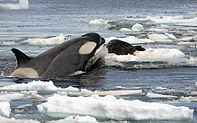 A killer whale sticking the front end of its body out of the water onto a floating piece of sea-ice to grab a dark-brown seal with light-brown-spots