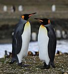 King Penguins at St. Andrews Bay, South Georgia (5816504395).jpg